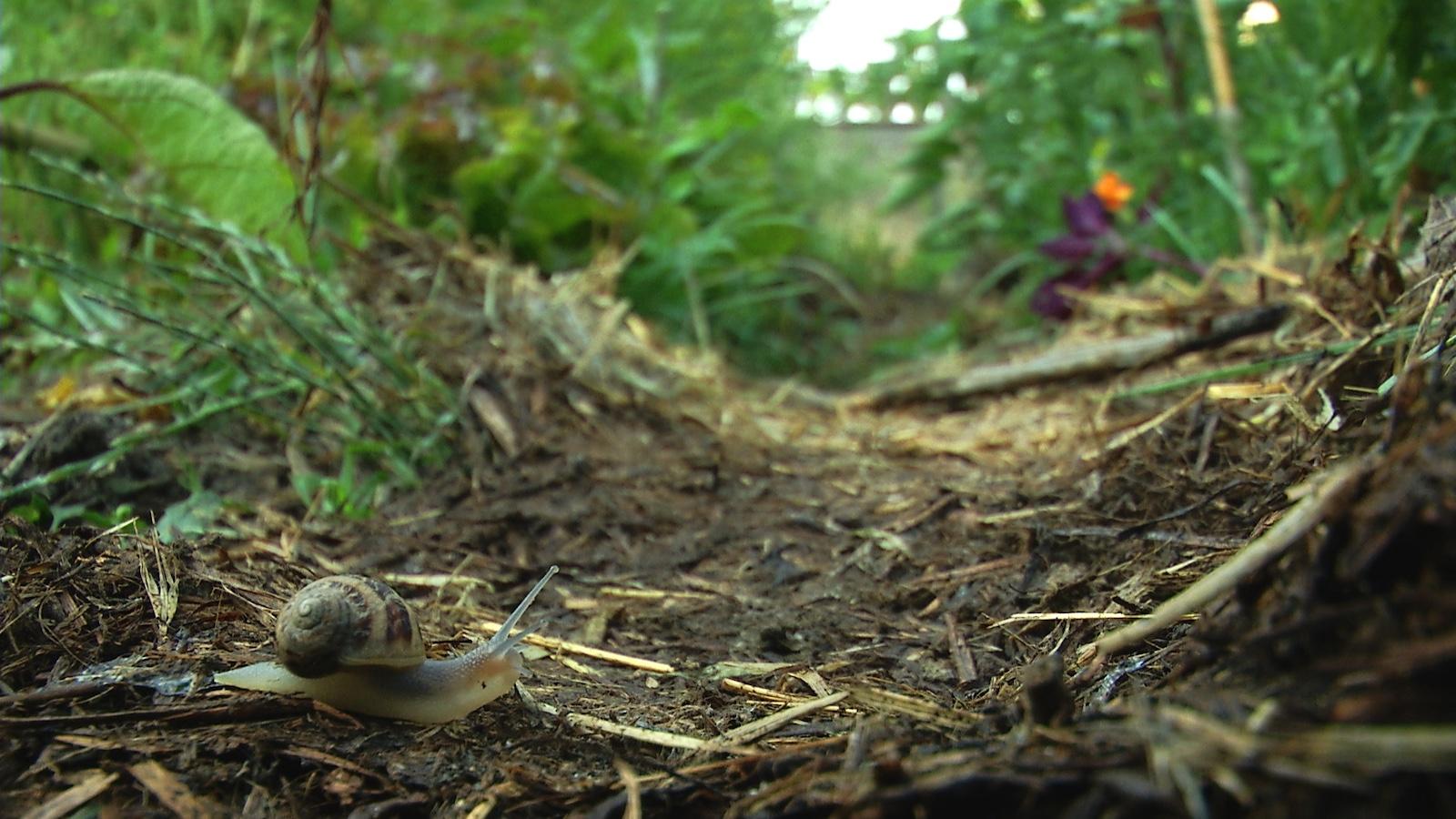 Escargot après l'averse de printemps au jardin familial du Haut-Vernet. Image du film Le temps du jardin, réalisé et produit par Olivier Moulaï, résidence Occit'Avenir au Lycée Maillol Perpignan